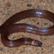 A new species of Xylophis Beddome, 1878 ...
