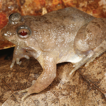 A taxonomic revision of the genus Phrynoglossus ...