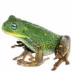 A new species of marsupial frog (Anura; ...
