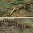 Convergent evolution of karst habitat ...