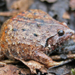 Description of a new Xenorhina species ...